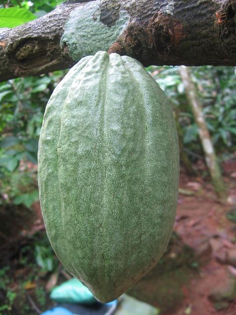 cocoa-bean-63177_640